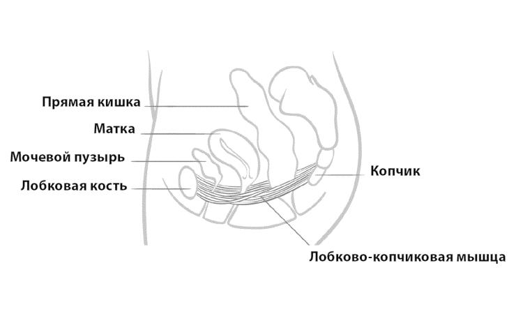 схема расположения лобково-копчиковой мышцы