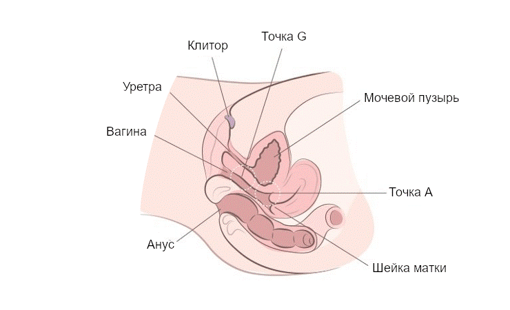 женская анатомия